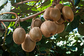 Close-up of ripening organic kiwi fruit (Actinidia deliciosa) on plant vines.\n\n