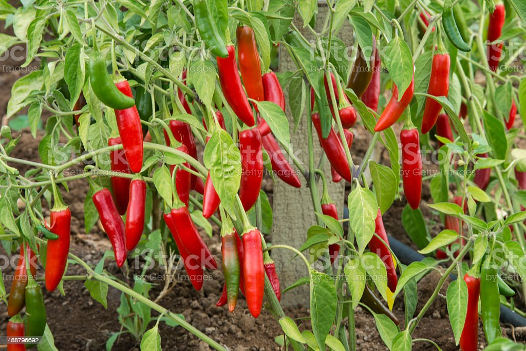 Close-up of Organic Peppers Ripening on Plant stock photo