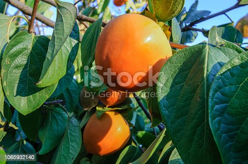 Close-up of organic persimmon fruit ripening on a tree branch, on a farm along the California coast.  Taken in Soquel, California, USA.