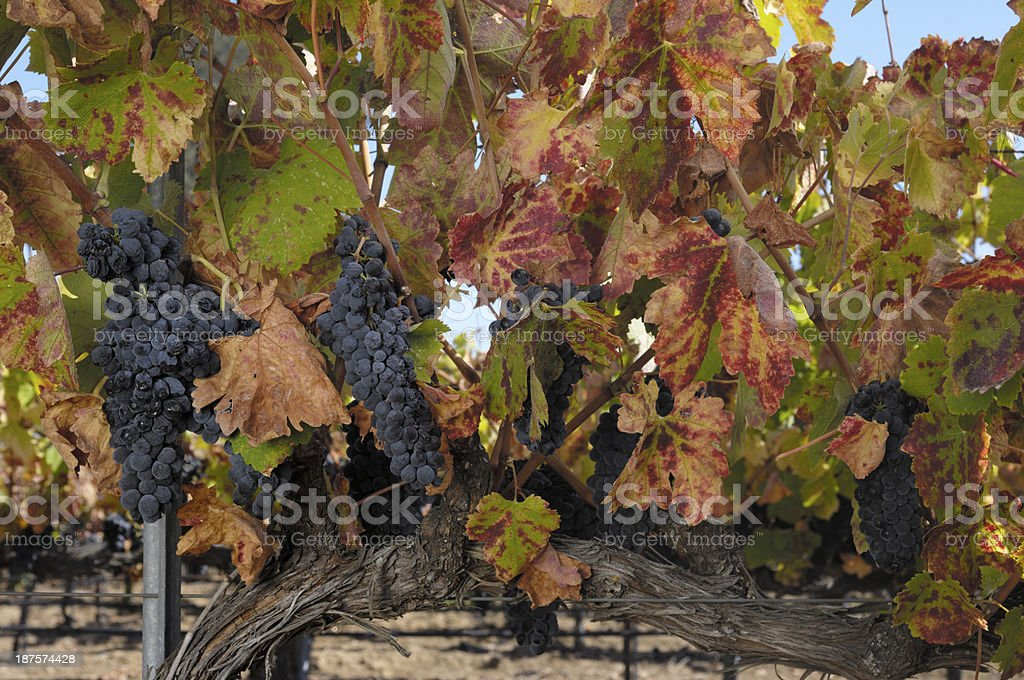 Close-up of Organic Pinot Noir Wine Grapes on Vine royalty-free stock photo