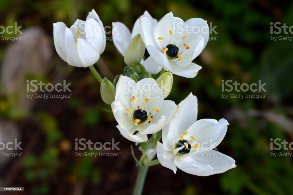 Close-up of Ornithogalum Arabicum Flowers, Star of Bethlehem, Nature, Macro