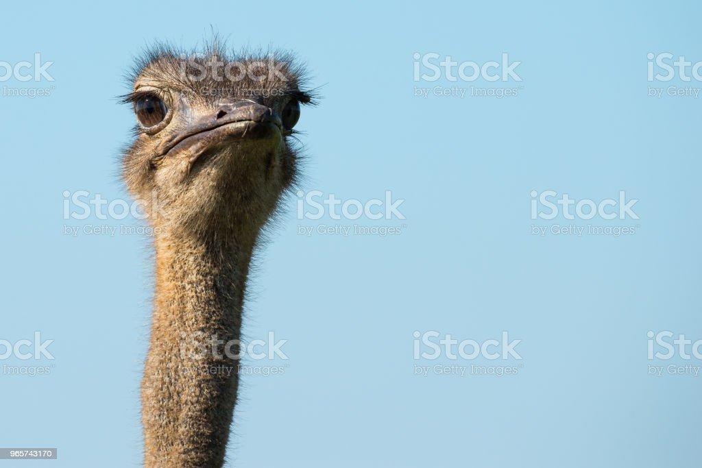 Close-up van de kop van de struisvogel - Royalty-free Afrika Stockfoto