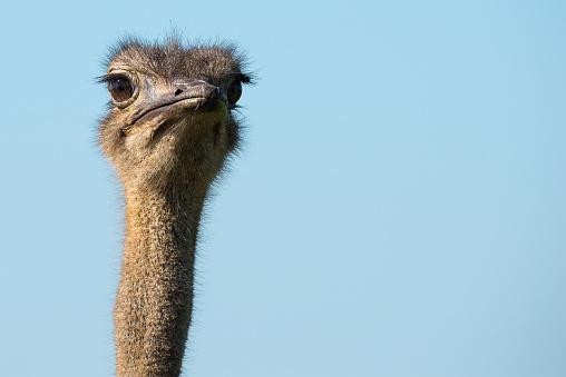 Closeup Van De Kop Van De Struisvogel Stockfoto en meer beelden van Afrika
