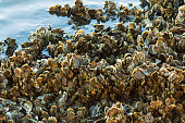 istock Closeup of oyster clusters at low tide 1205303239