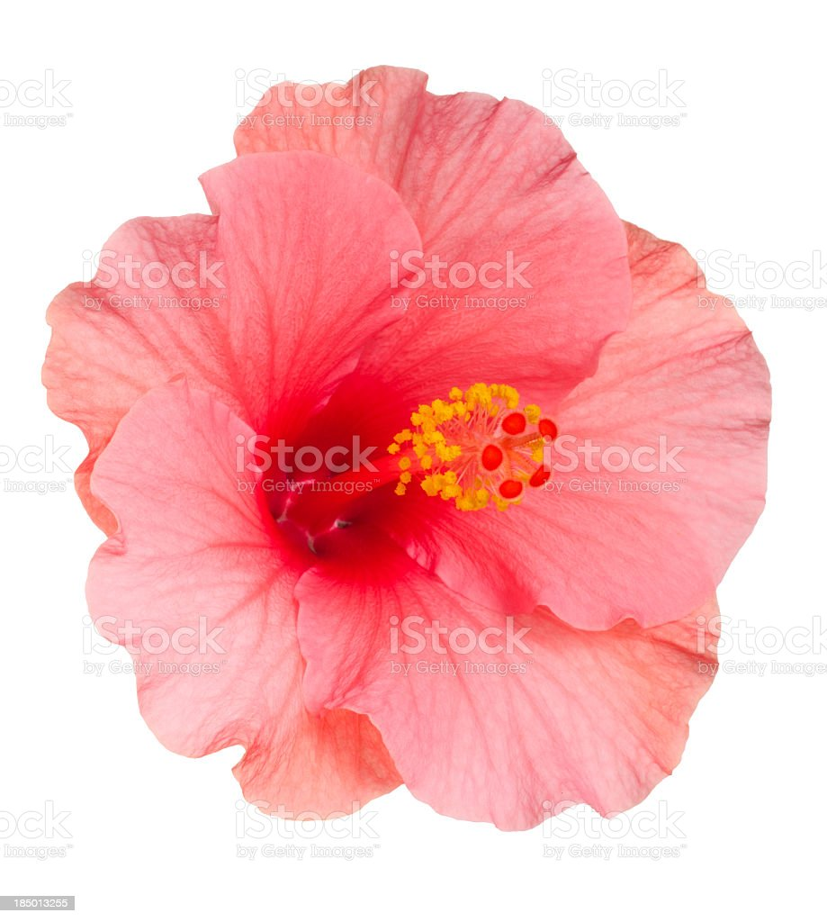 Close-up of pale pink Hibiscus flower on white background stock photo