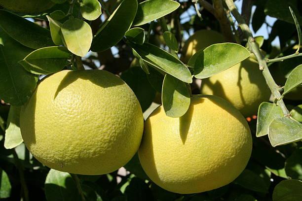 柑橘系の果物 - グレープフルーツ ストックフォトと画像