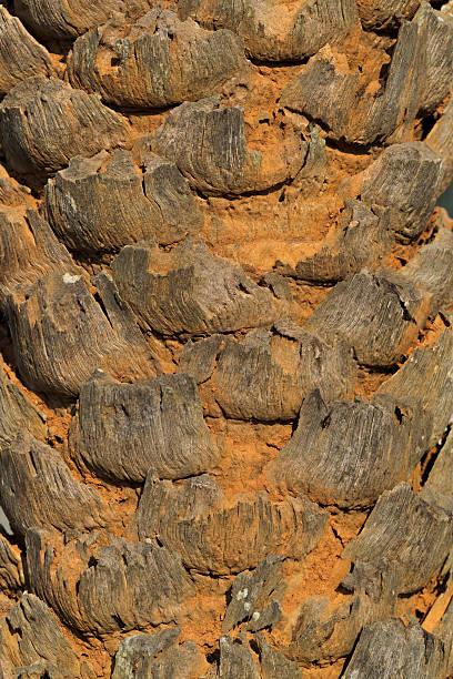 Closeup of Palm Tree Trunk stock photo