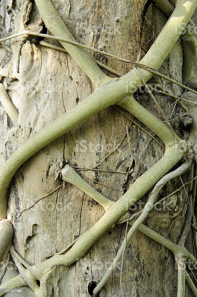 Close-up of parasite root kill tree plant