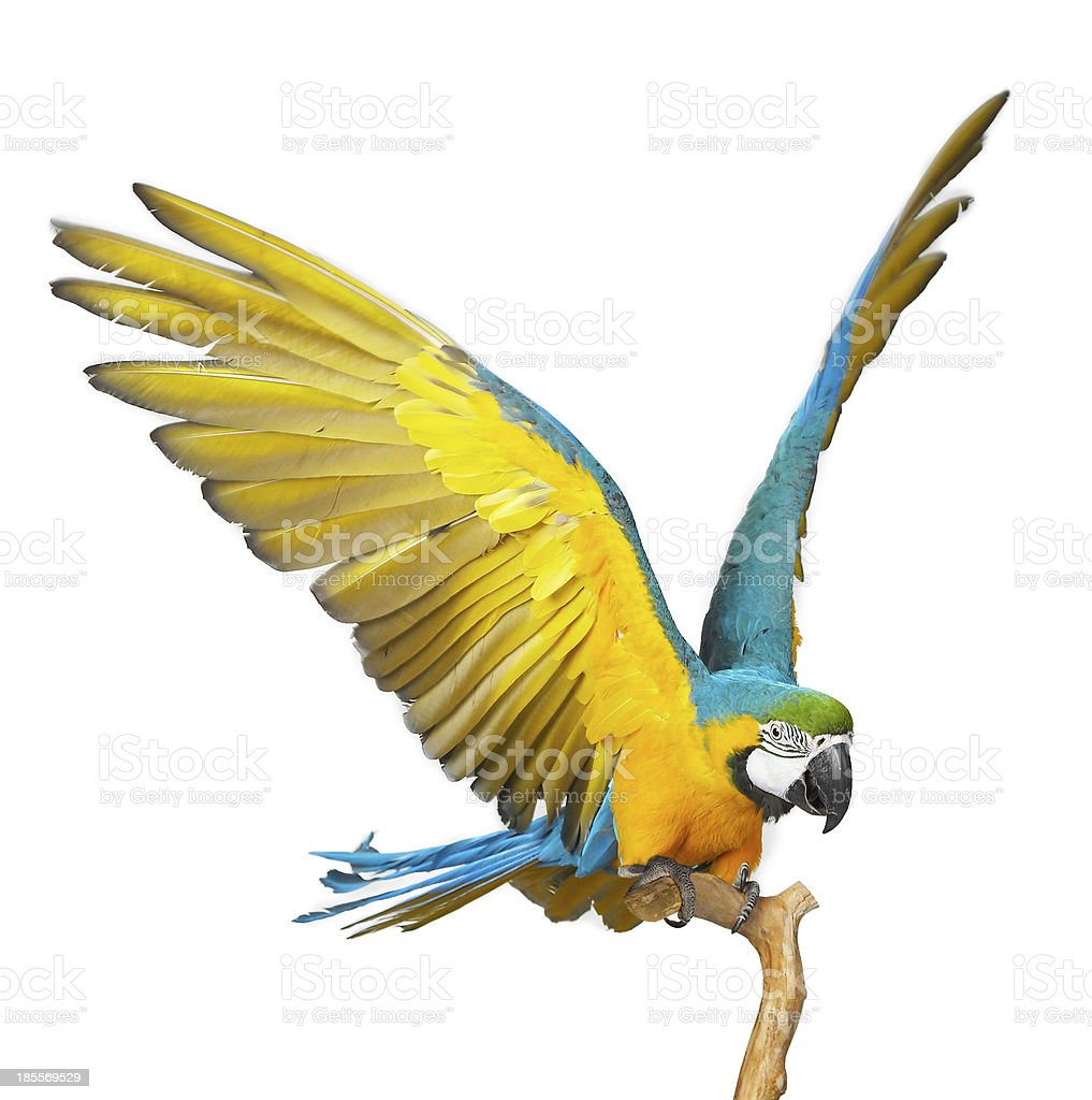 Close-up of parrot isolated on white background royalty-free stock photo