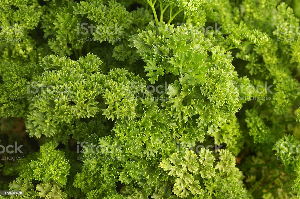 Close-up of Parsely Plants royalty-free stock photo