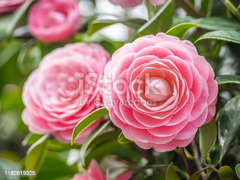 Closeup of pastel pink Camellia Japonica flowers blooming bush in the park or garden.