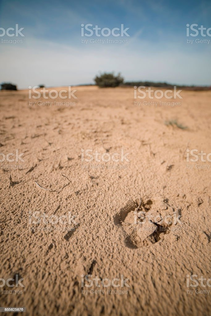 Close-up of paw print of red deer in sand. stock photo