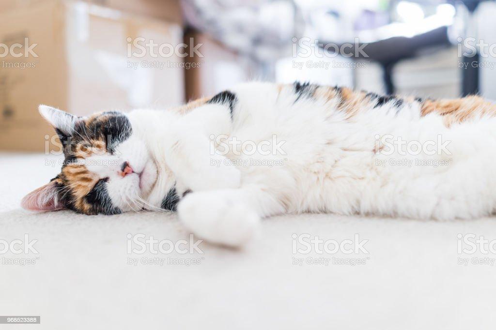 Slapen Op Grond : Closeup van vreedzame gelukkig calico kort haar kat met witte buik