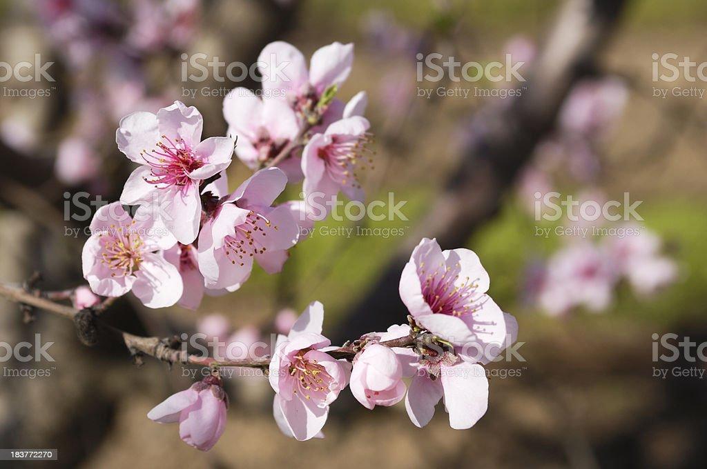 Close-up of Peach Tree Springtime Blossoms royalty-free stock photo