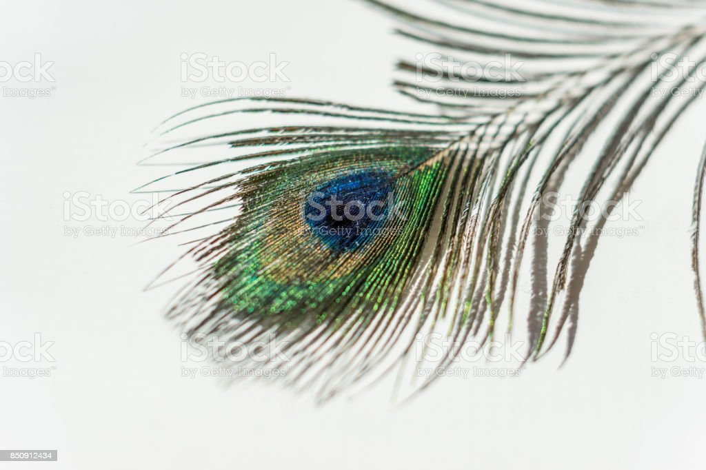 Closeup of peacock feather placed on a white table. stock photo