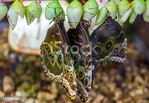 closeup of peleides blue morpho butterfies coming out of their cocoons, tropical insect specie from America
