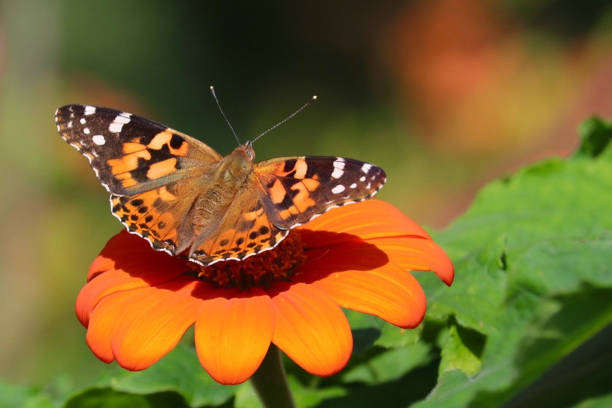 Close-up of Perfect Painted Lady Butterfly on Flower stock photo