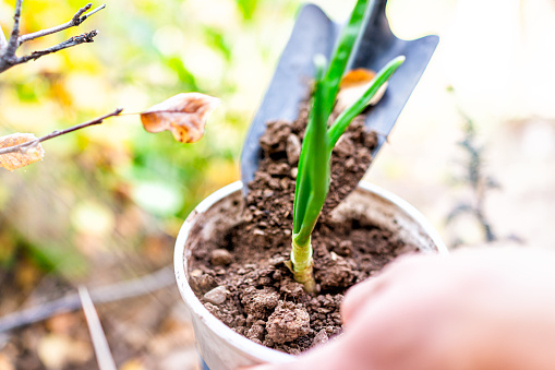 Closeup of person holding green onion sprout gardening planting into small soil container placing dirt with shovel into pot