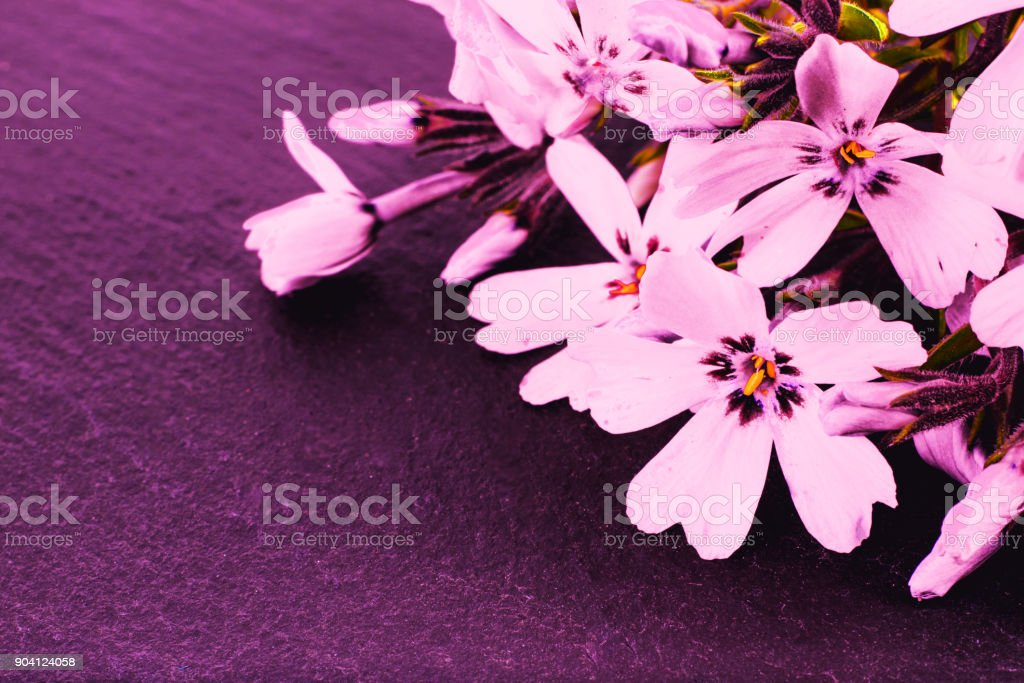 close-up of Phlox on stone background with copy space. macro spring and summer border template floral. greeting and holiday card. stock photo
