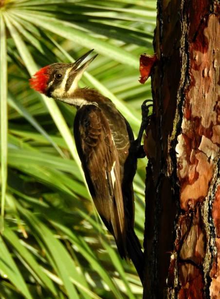 nahaufnahme der helmspecht an der seite einer tanne mit palmetto wedel im hintergrund - palmwedel stock-fotos und bilder