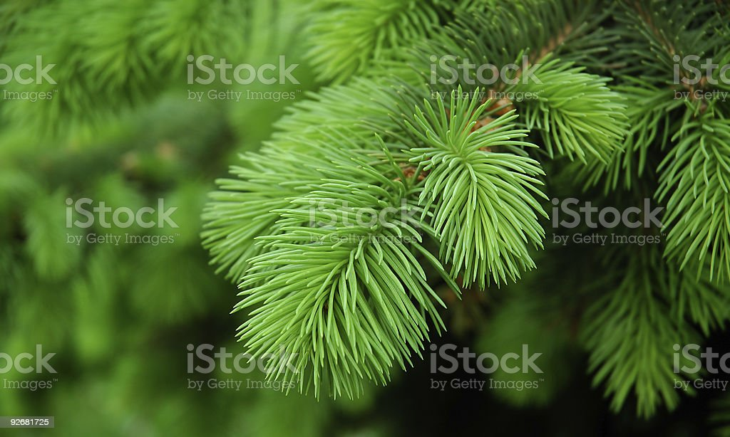 Close-up of pine branch background royalty-free stock photo