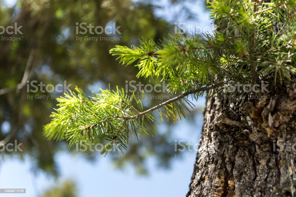 Close-up of pine needles in forest stock photo