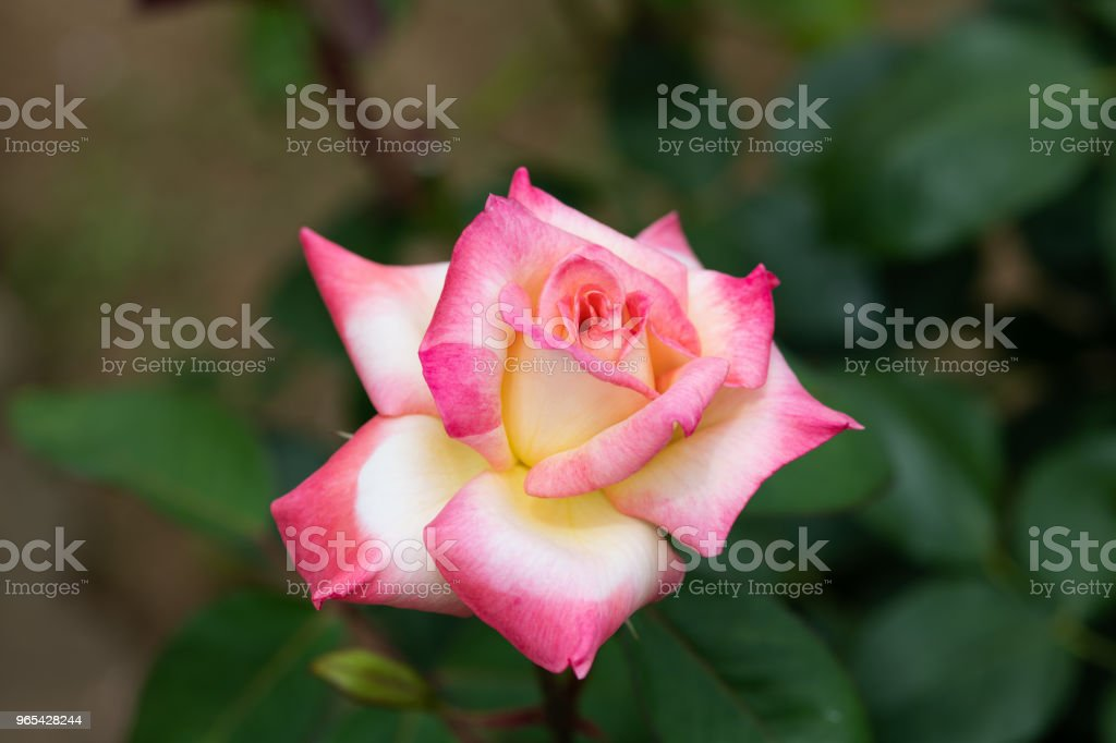 close-up of pink and yellow rose flower 'Diana Princess of Wales' zbiór zdjęć royalty-free
