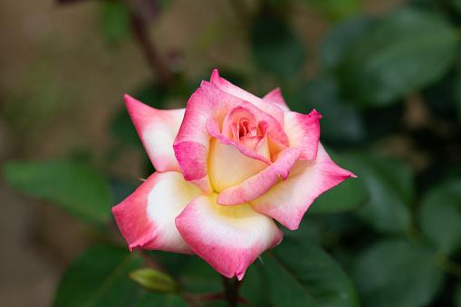 분홍색과 노란색 장미 꽃 웨일즈의 다이애나 공주 의 클로즈업 0명에 대한 스톡 사진 및 기타 이미지