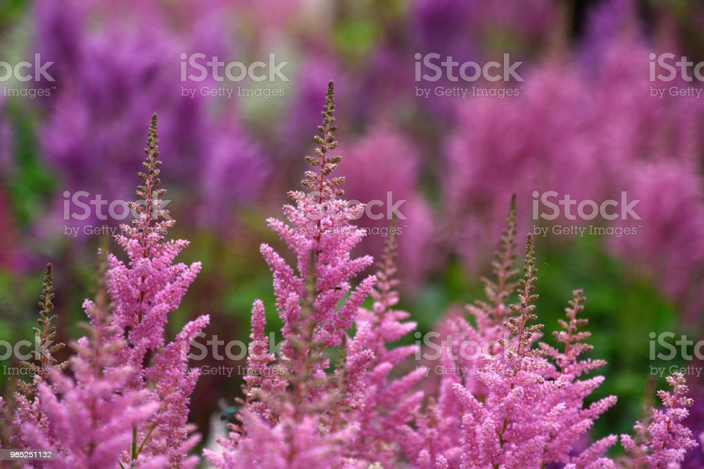 Closeup of pink astilbe plants, colorful vivid background stock photo