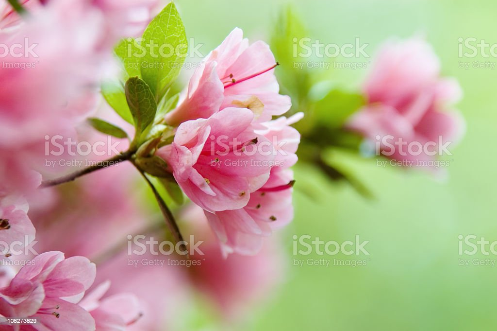Close-up of pink azaleas on a bush stock photo