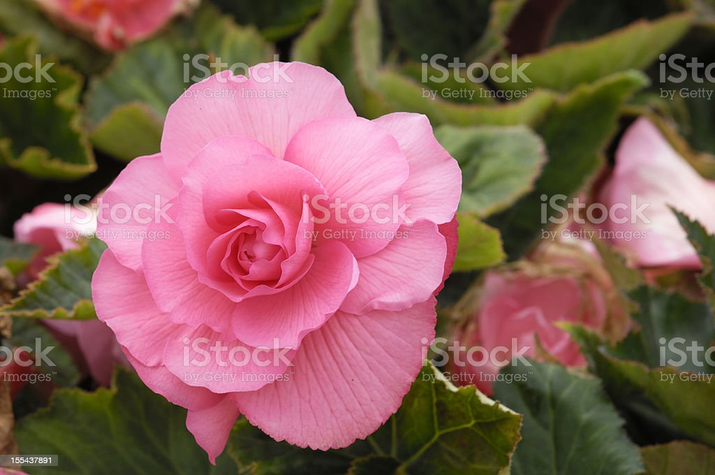 Close-up of Pink Begonia Flower stock photo