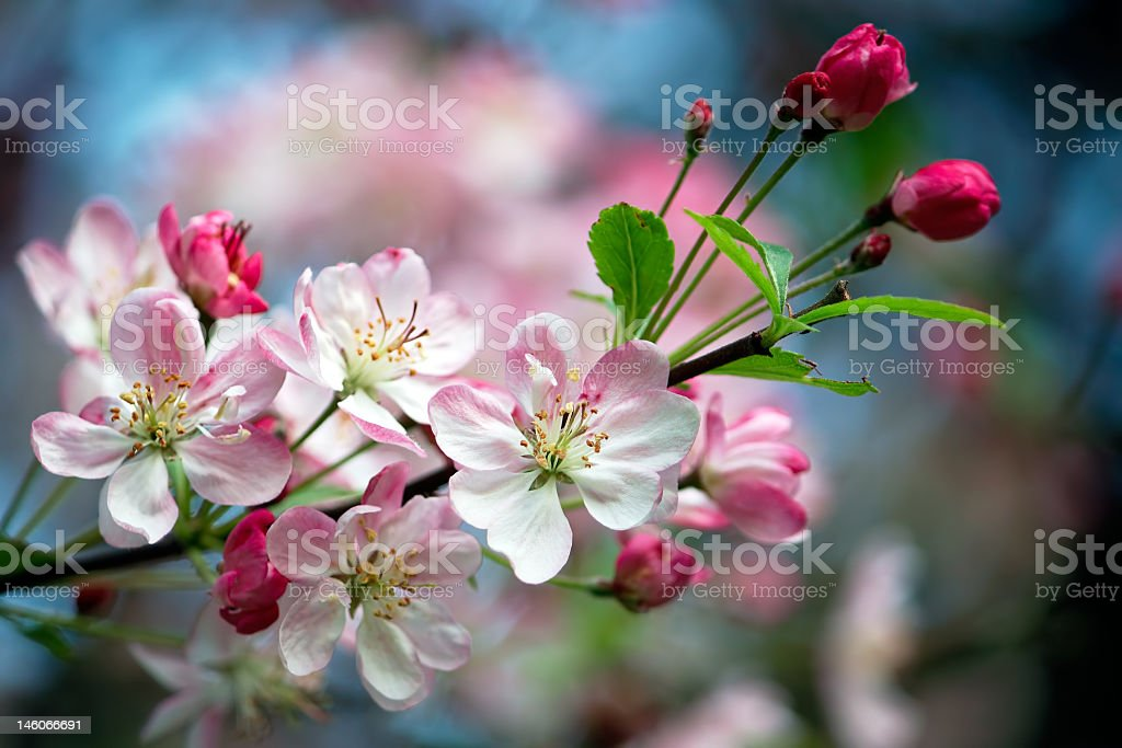 Close-up of pink Blossom flowers on the branch stock photo