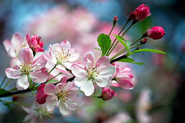 Best Apple Blossom Stock Photos, Pictures & Royalty-Free ...