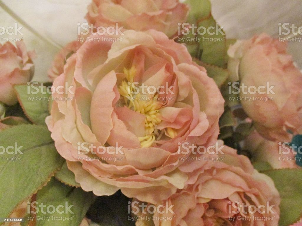 Close-up of Pink Cabbage Roses stock photo