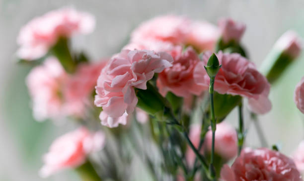 Close-up of Pink Carnation, Dianthus Caryophyllus stock photo