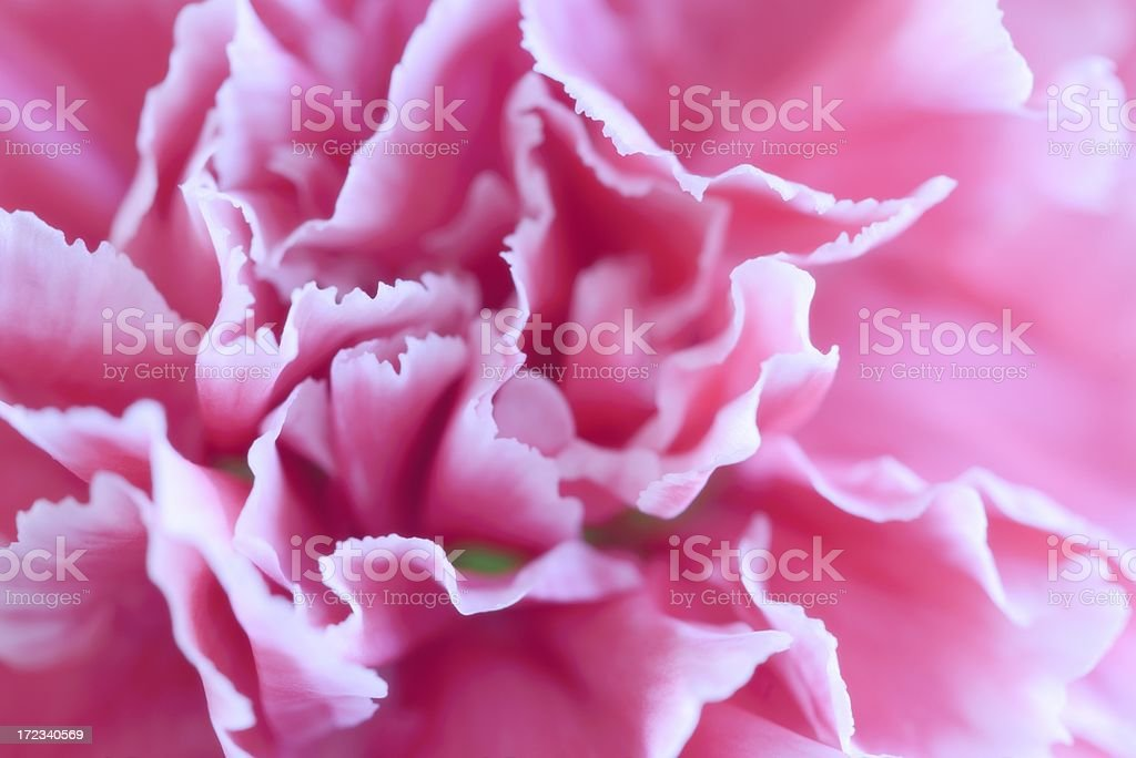 Close-up of Pink Carnation Flower stock photo