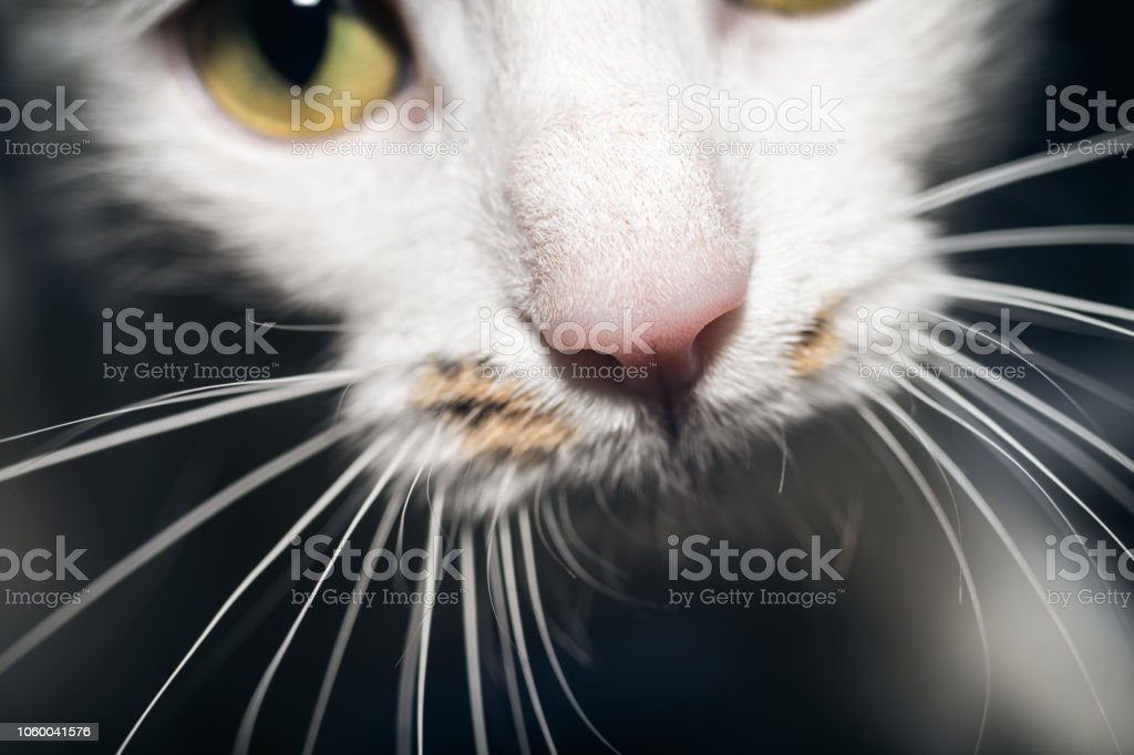 Close-Up Of Pink Cat Nose And Whiskers On Black Background stock photo