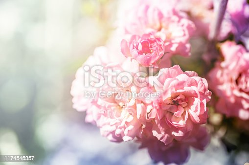 closeup of pink climbing rose bush in bloom on colorful background.