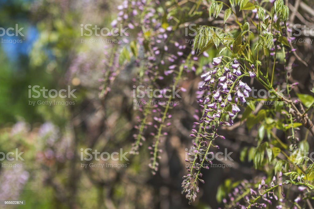 Closeup of pink flower clusters of an Wisteria in full bloom in spring royalty-free stock photo