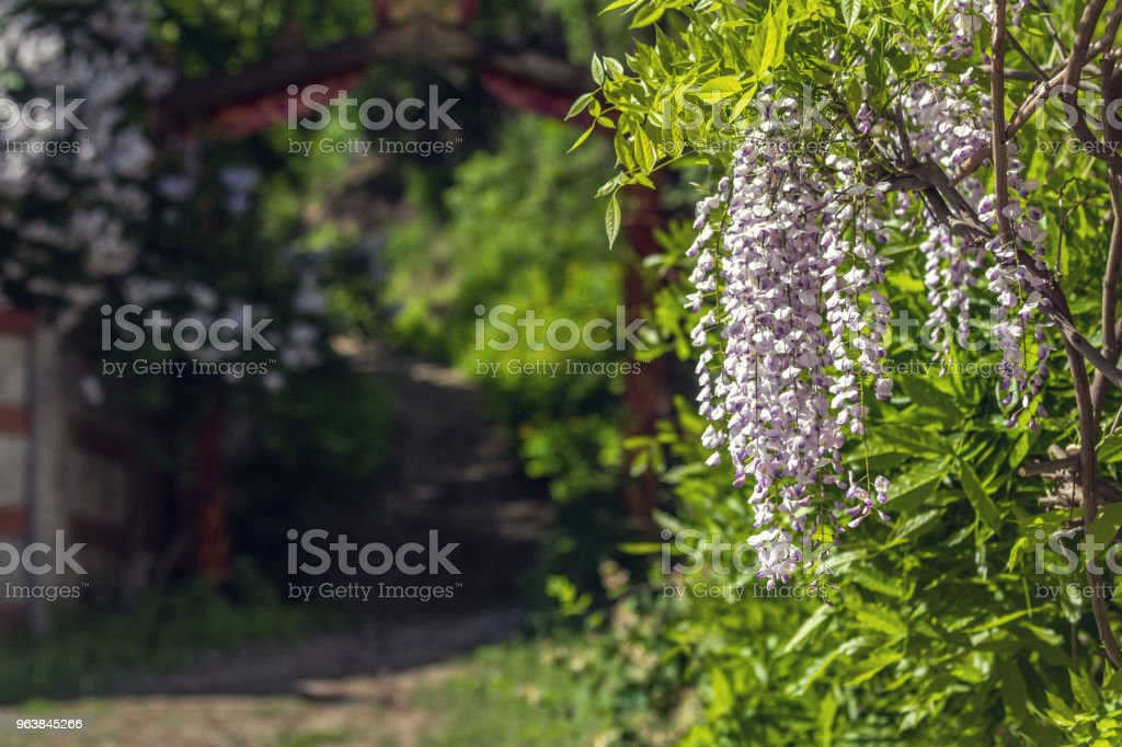 Closeup of pink flower clusters of an Wisteria in full bloom in spring. - Royalty-free Back Lit Stock Photo