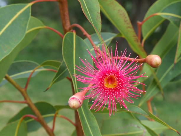 Closeup of pink flowering gum stock photo