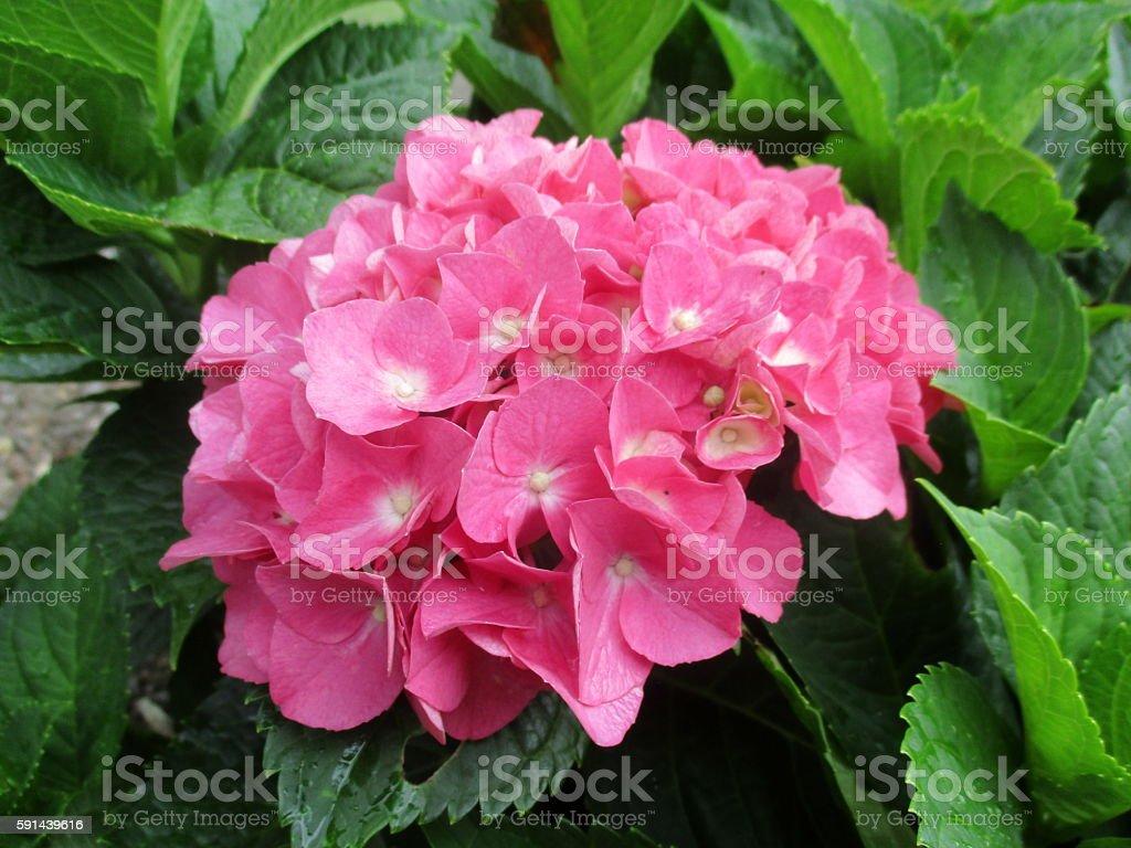Close-up of Pink Hydrangea Blossom stock photo