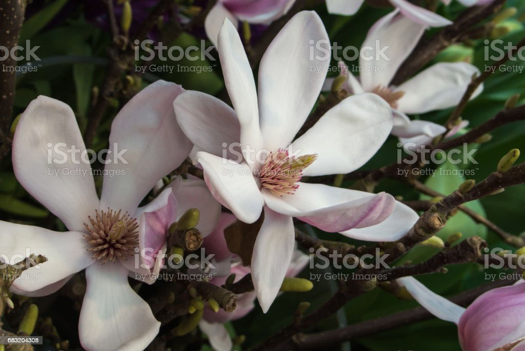 Close-up of pink magnolia flower on a brunch at botanical garden, Moscow, Russia. foto de stock royalty-free