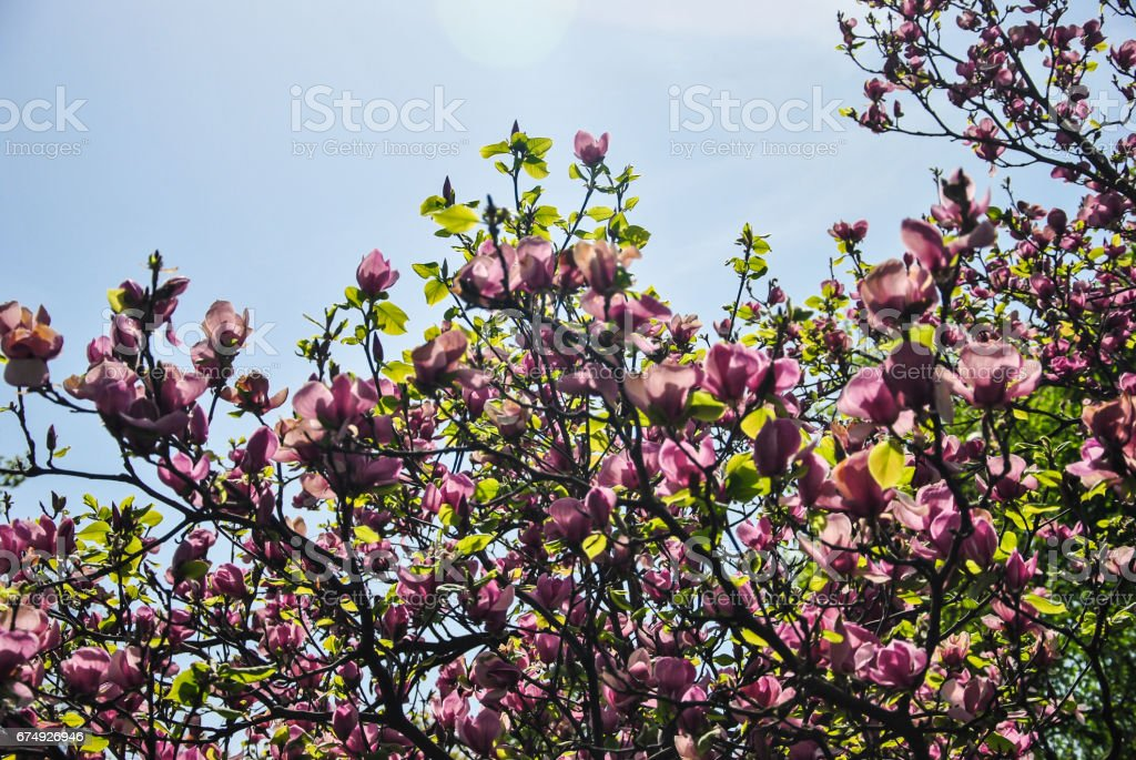 Close-up of pink magnolia flower on a brunch royalty-free stock photo