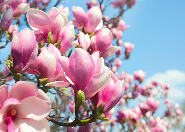 розовая магнолия цветы - magnolia стоковые фото и изображения