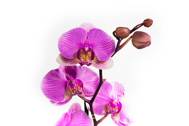 Closeup of pink orchid flowers blossom isolated on white background stock photo