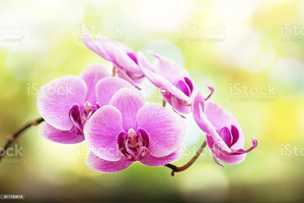 Close-up of pink orchid phalaenopsis. Bouquet of flowers orchids stock photo