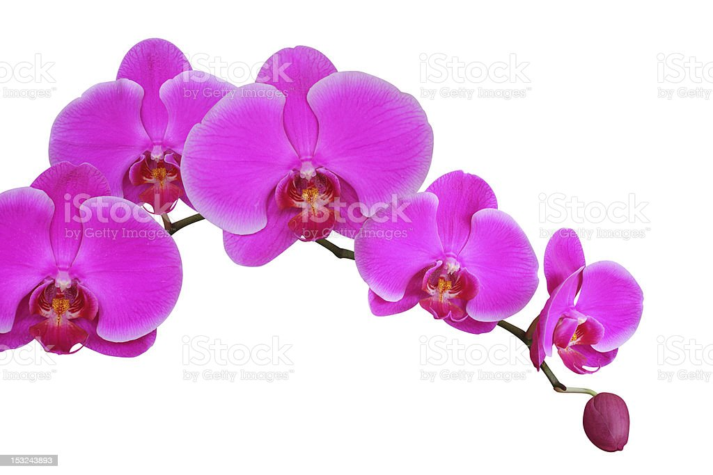 Close-up of pink orchids on white background royalty-free stock photo