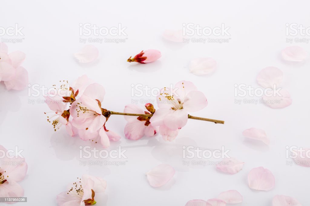 closeup of pink peach flowers on white background stock photo download image now istock https www istockphoto com photo close up of pink peach flowers on white background gm1137955236 303620924