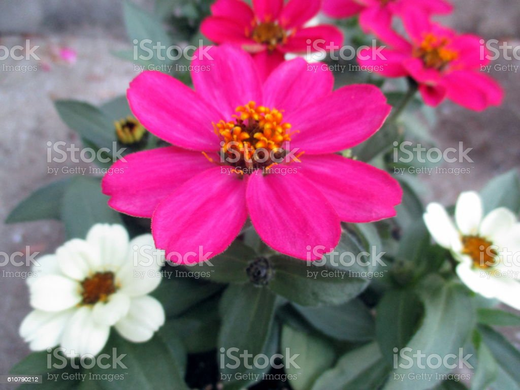 Close-up of Pink, Red, and White Zinnias stock photo